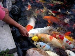 Hồ-cá-Koi-300x225 ban ca koi o hue
