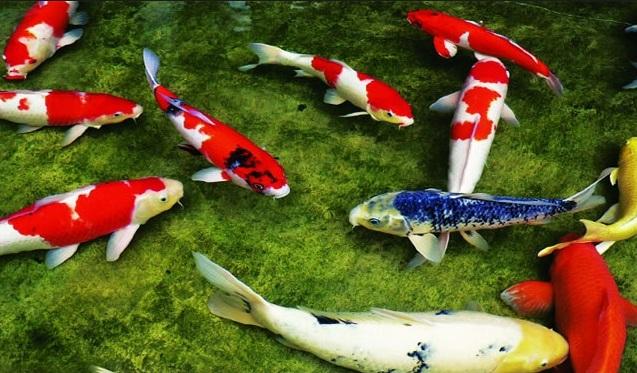 Bán cá koi ở Huế